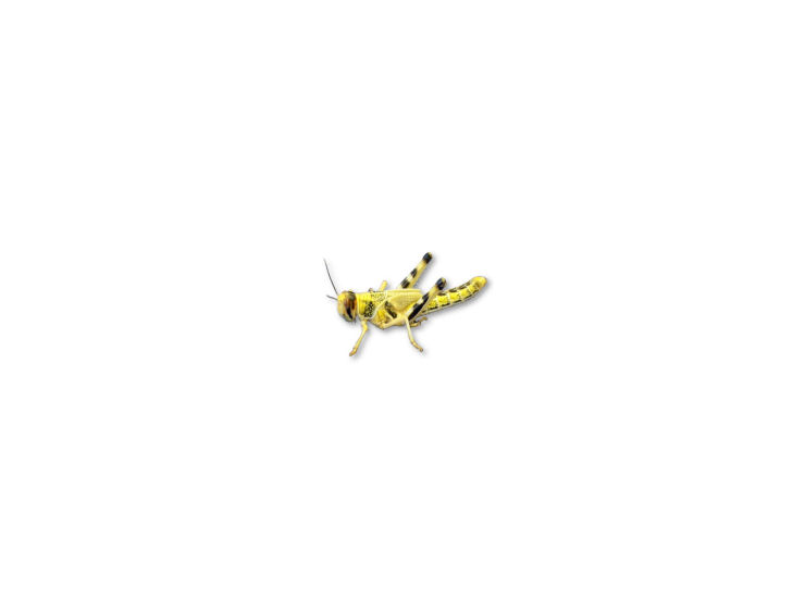 Live Locusts Small MEG...