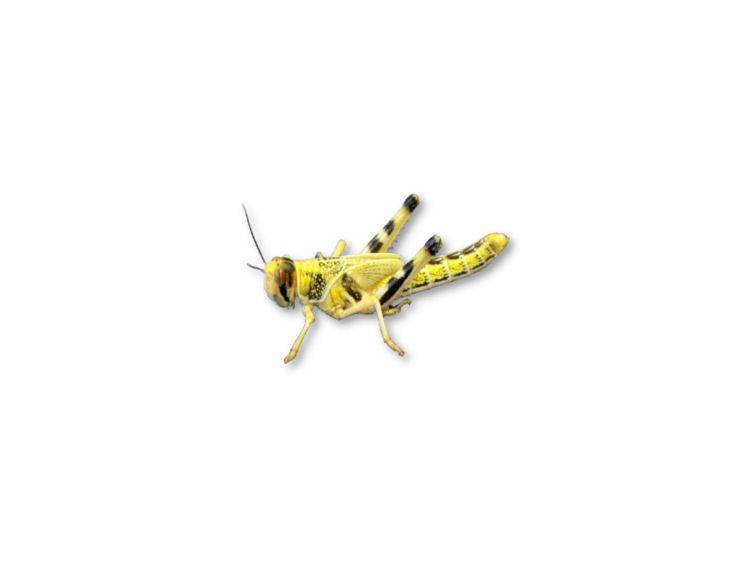 Live Locusts Small Medium Mega Tub 100 Reptile Livefood