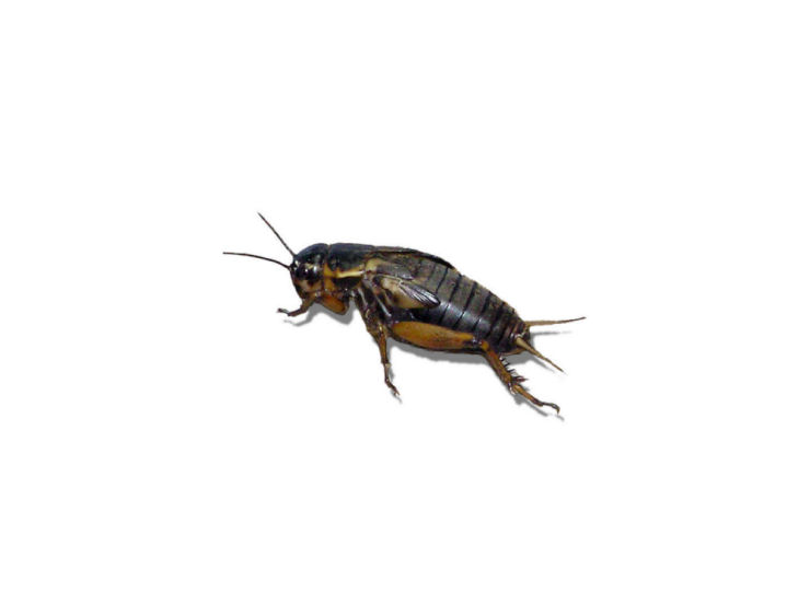 Live Black Field  Crickets 2nd Instar Small Prepack Tub