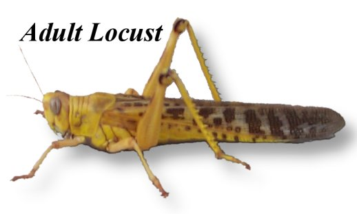 Live Locusts Adult 25 per BAG (Reptile Livefood)