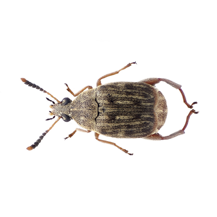 Live Bean Weevil culture