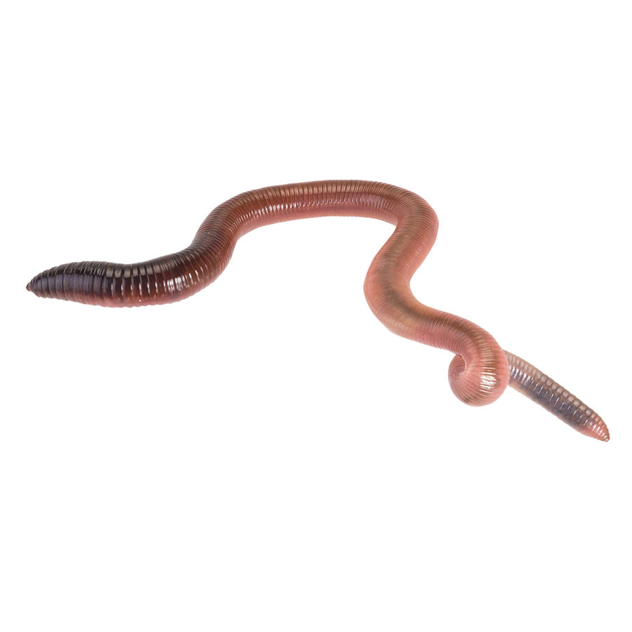 Live Giant Lob Worms (Lumbricus) prepack
