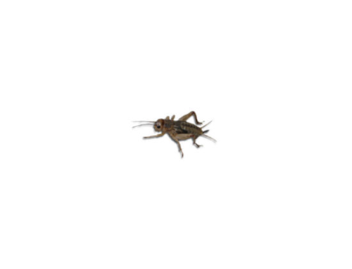 Live Brown  Crickets 1st Instar Extra Small Prepack Tub