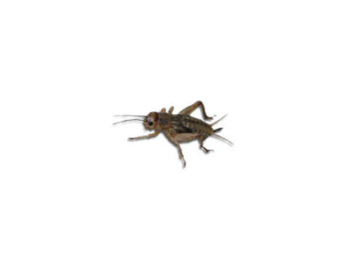 Live Brown  Crickets 2nd Instar Small Prepack Tub