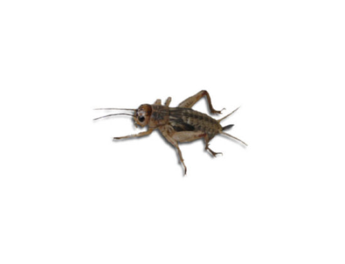 Live Brown  Crickets 3rd Instar Small/med HALF BULK BAG