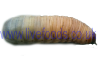 Live Pachnoda Fruit-Beetle Grubs