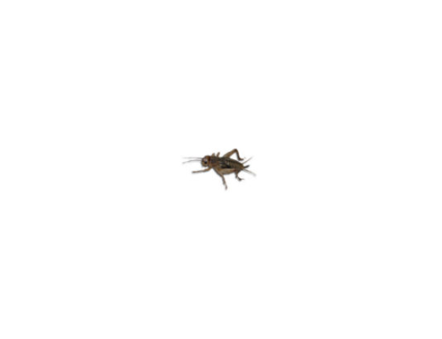 Live Brown   Crickets Hatchling/Micro Prepack Tub