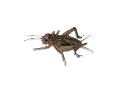 Live Brown  Crickets 4th Instar Medium Prepack Tub