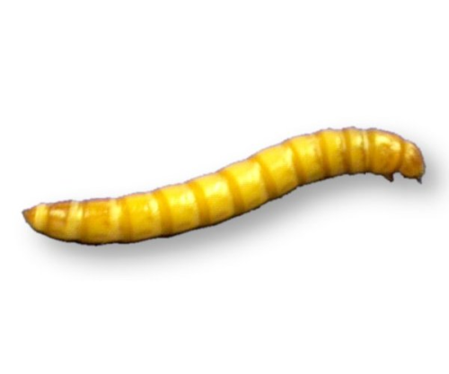 Live Mealworms OUT of STOCK until Wednesday