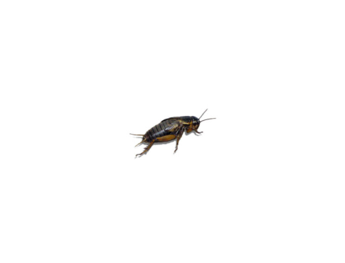 Live Black Field  Crickets 1st Instar Extra Small Prepack Tub
