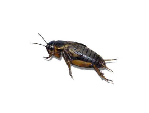 Live Black Field  Crickets 3rd Instar Small/Med Prepack Tub