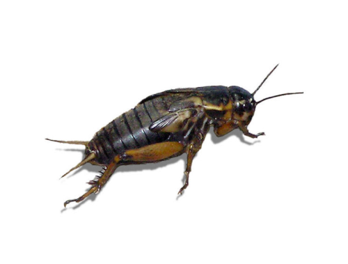 Live Black Field  Crickets 4th Instar Medium Prepack Tub