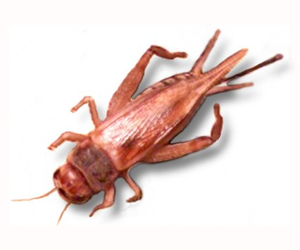 Live Brown Crickets Extra Large BULK BAG